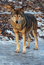 Gray Wolf in a winter Royalty Free Stock Photography
