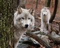 Gray wolves in a forest