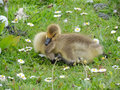 Graylag goose chick the greylag x anser anser x is a bird in the waterfowl family anatidae it has mottled and barred grey and Stock Photo