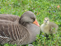 Graylag goose and chick the greylag x anser anser x is a bird in the waterfowl family anatidae it has mottled barred grey white Royalty Free Stock Photo
