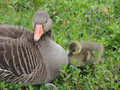Graylag goose and chick the greylag x anser anser x is a bird in the waterfowl family anatidae it has mottled barred grey white Royalty Free Stock Image