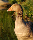 Graylag goose close-up Stock Photos
