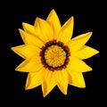 Grazia Flower on Black Background Royalty Free Stock Photo