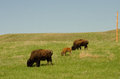 Grazing bison on prairie grass cow and calf in south dakota usa Stock Image