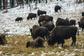 Grazing bison in yellowstone winter Stock Photo