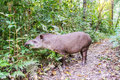 Grazing Brazilian Tapir Royalty Free Stock Photo