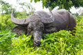 Grazing buffalo hide. Royalty Free Stock Photo