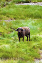 Grazing cape buffalo by the water close up Stock Photo