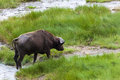Grazing cape buffalo by the water close up Royalty Free Stock Photo