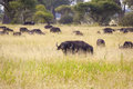 Grazing cape buffaloes group of in the african wilderness Stock Photo