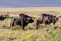 Grazing cape buffaloes in serengeti national park Royalty Free Stock Images