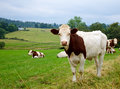 Grazing cattle Royalty Free Stock Image