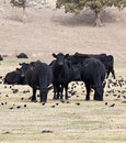 Grazing Cattle and Blackbirds Royalty Free Stock Photo
