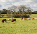 Grazing Cattle in an English Meadow Royalty Free Stock Image