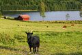 Grazing cattle in old rural area th century landscape scenery large black goat foreground sweden smaland Stock Photos