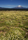 Grazing cattle ranch countryside mount adams mountain farmland l near the peak that is mt in washington state Stock Photos