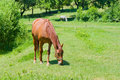 Grazing chestnut mare on a pasture Stock Photography