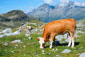 Grazing cow close to vedrette di ries aurina valley south tirol italy Royalty Free Stock Photos