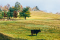 Grazing cow on grassy hill in autumn Stock Image