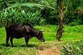 Grazing Cow in India Royalty Free Stock Photo