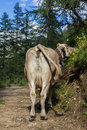 Grazing cow standing on a dirt road
