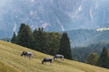 Grazing cows in dolomites italy Stock Photography