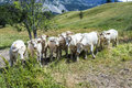 Grazing cows in the french alps graze at meadow Stock Photo
