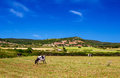 Grazing cows are upon the hills in sunny day at menorca spain Royalty Free Stock Photo