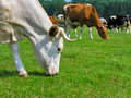Grazing cows in the meadow Stock Photography