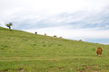 Grazing cows on the top of the hill above the lake Uvac Royalty Free Stock Photo
