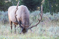 Grazing elk an in a field in yellowstone national park Royalty Free Stock Images