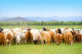Grazing flock of goats and sheep on grassland Royalty Free Stock Photo