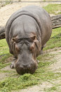 Grazing hippopotamus large amphibius Royalty Free Stock Photos