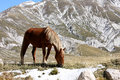Grazing horse in free nature abruzzo italy the mid to lower slopes of the italian gran sasso are grazed spring summer and autumn Royalty Free Stock Images