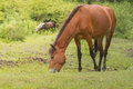 Grazing horse in the meadow Royalty Free Stock Photo