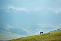 Grazing horse in mountains at sunset looking camera tien shan kyrgyzstan Stock Images