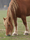 Grazing horse a single grazes in a paddock with not much grass Royalty Free Stock Images