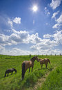 Grazing horses, bright sunlight, wide angle Stock Image