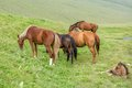 Grazing horses with foal on the field Royalty Free Stock Photo