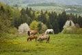 grazing horses on a green mountain meadows