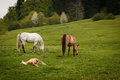 grazing horses on a green mountain meadows