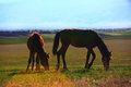Grazing horses in sunset Royalty Free Stock Photo