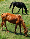 Grazing horses two at the meadow in crimea Stock Photos