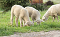 Grazing lambs fresh spring grass on farmland Stock Photos