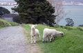 Grazing lambs near pathway Royalty Free Stock Photo