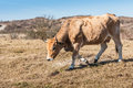 Grazing light brown cow with horns horned female walking in a dry meadow against a background of dutch dunes Stock Photography