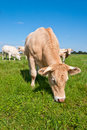 Grazing light brown cow in a sunny meadow Royalty Free Stock Photo