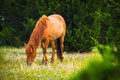 Grazing Mare Royalty Free Stock Photo