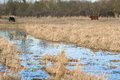 Grazing Marsh With Cattle