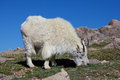 Grazing mountain goat a in the high alpine Stock Photos